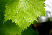 Grape leaves — Photo
