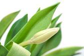 White Tulip — Stock Photo