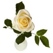 Weiße rose isoliert auf weißem hintergrund — Stockfoto