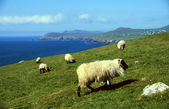 Sheep at coastline — Stock Photo
