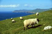 Sheep at coastline — Stock Photo