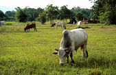 Cows on the pasture — Stock Photo