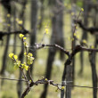 Vineyard in spring time — Stock Photo #3741680