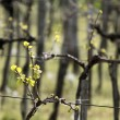 Stock Photo: Vineyard in spring time