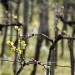 Vineyard in spring time — Stock Photo