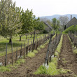Vineyard in spring time — Stock Photo