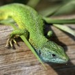 Green lizard - Stock Photo