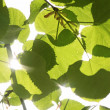 Leaves of linden tree — Stock Photo
