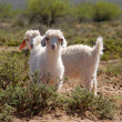 Young Angora Goats — Stock Photo