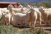 Flock of Angora goats — Stock Photo