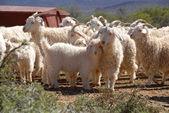 Flock of Angora goats — Stock Photo