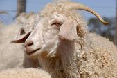Adult Angora goat — Stock Photo