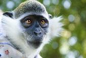 Mono pequeño mira atentamente — Foto de Stock