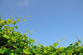 Vineyard and the sky — Stock Photo