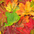Background of autumn maple leaves — Stock Photo #3875092