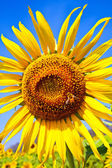 Sunflower on The Sky — Stock Photo