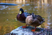 Sleepy Duck — Stock Photo