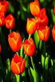 Tulip in Thailand — Stock Photo