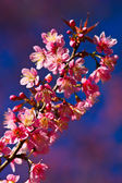 Thai's Sakura — Stock Photo