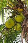 Threesome Coconuts — Stock Photo