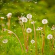 Dandelions — Stock Photo #3641304