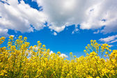 Yellow flower field and sky — Stock Photo