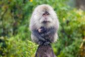 Monkey carrying baby monkey — Stock Photo