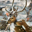 Tenderness in the family of deer — Stock Photo