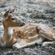 Young dappled deer — Stockfoto
