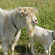 Stock Photo: Goat with kid
