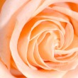 Closeup macro rose bud — Stockfoto