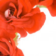 Red decorative geranium — Stock Photo