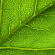 Macro green leaf vein — Stock Photo