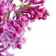 Violet lilac branch on white — Stock Photo