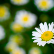 White blooming macro daisy — Stock Photo