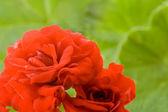 červené květiny pelargónie — Stock fotografie