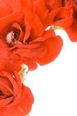 Red decorative geranium — Stock Photo
