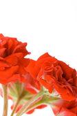 Red geranium buds — Stock Photo
