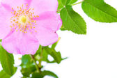 Dogrose flower with copy space — Stock Photo