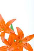 Lilie czerwone — Zdjęcie stockowe