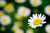 White blooming macro daisy — Stock Photo