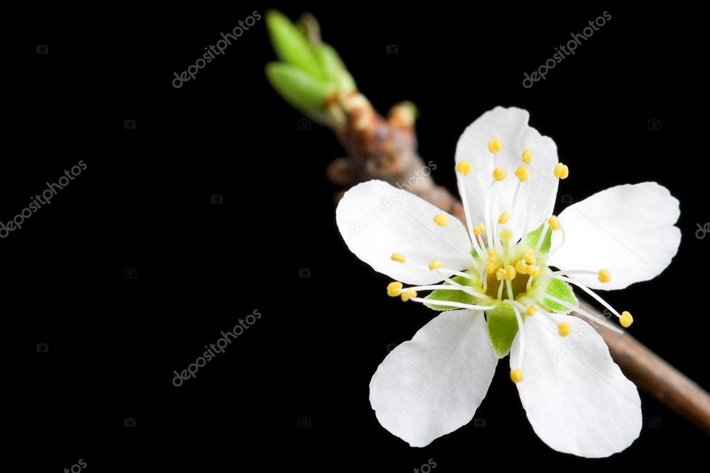 Macro white flower of the apple tree with black background, left hand copy space — Stock Photo #3337485