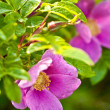 Wild dog rose macro — Stock Photo