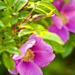 Wild dog rose macro - Stock Photo
