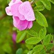 Macro wild dog rose - Stock Photo