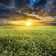 Sunset over blooming white field — Stockfoto