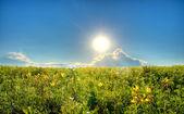 Pole z żółte lilie — Zdjęcie stockowe