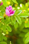 Wild dog rose bud macro — Stock Photo