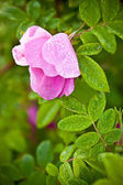 Macro wild dog rose — Stock Photo