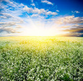 Sunset over the blooming field — Stock Photo